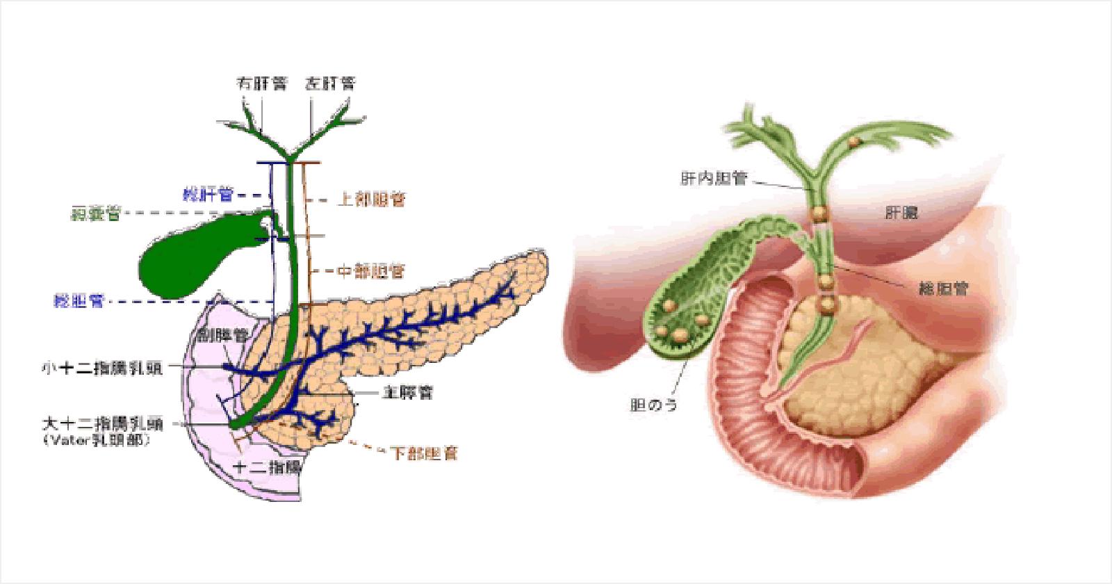 ERCP(内視鏡的逆行性胆管膵管造影)